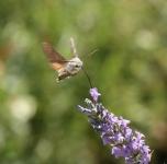 Wauw ! Kolibrivlinder
